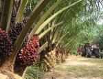 Акциз на пальмовое масло как налог на дешевую еду
