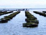 В Чёрном море откроют промысел мидий