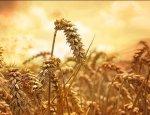 Украинские аграрии придерживают пшеницу