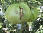 Турция сбывает Украине зараженные помидоры