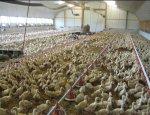 Санкционный прорыв. Россия наращивает производство утиного мяса