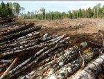 На Буковине воруют лес «по-черному»