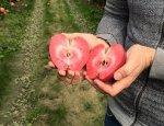 Новый сорт украинских яблок – подножка польским аграриям