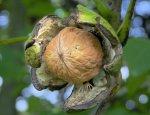 Белочки не получат по белочке: куда уплывает украинский орех