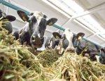 Обратный эффект санкций: в России открыт крупный животноводческий комплес