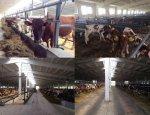 В Ленинградской области идет модернизация молочных ферм
