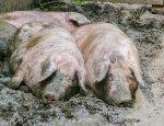 Киев в пролете: Молдавии не нужна украинская свинина