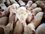 Производственный прорыв: в России построят самый огромный свинокомплекс в мире