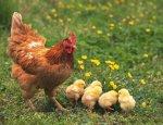 Курятина для украинцев станет деликатесом