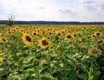 На Украине зафиксировано снижение цен на подсолнечник
