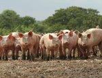 Украина на грани разорения: поголовье свиней косит африканская чума