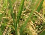 На Херсонщине собрались выращивать рис