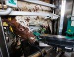 Второе дыхание колхоза: роботы-дояры возродят заброшенные фермы России