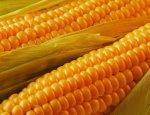 «Царицу полей» заказывали? Российская кукуруза едет в Сенегал