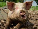 На Украине стремительно уменьшается число свиней: сало становится роскошью