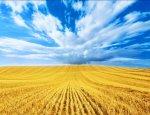 Пора переходить с пшеницы на рис и кукурузу