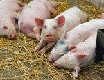 Скотоводы бьют тревогу: на Украине очередная вспышка чумы у свиней