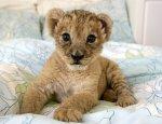 Львята срочно, недорого. Законна ли продажа диких животных в России