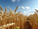 Аграрный прорыв: Россия превращается в мирового гиганта зерновых