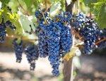 Россия не жалеет средств: виноделие Крыма выходит на новый уровень