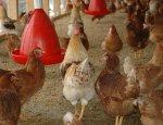 Совмин ЛНР ввел временную администрацию на Чернухинской птицефабрике