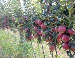 С заявлениями о «полном импортозамещении» яблок власти явно поторопились