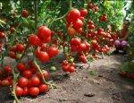 Ешьте сами свои турецкие помидоры: идет массовая стройка теплиц в России